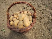 26ème marche de la pomme de terre