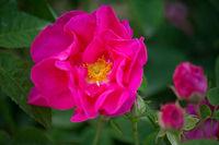 Ateliers distillation de roses