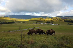 Un élévage de bisons à Autrans-Méaudre en Vercors