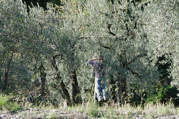 Une journée sous les oliviers... une cueillette solidaire à Nyons