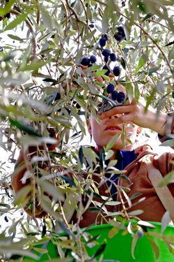 54e édition des Olivades, la Fête de l'Olive noire de Nyons