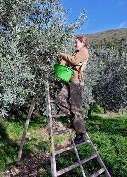 Cueillette solidaire des oliviers de Nyons