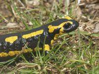 Découverte des salamandres