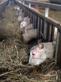 Visite de la bergerie - ferme de la Thiery