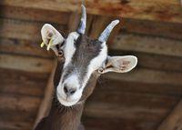Fête de la chèvre et du Caillé Doux - Terroir en fête