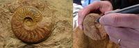 Atelier dégagement de fossiles par micropercussion