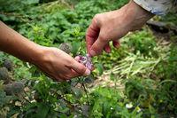 """Sortie découverte """"plantes sauvages comestibles et médicinales"""" - Tournon sur Rhône"""