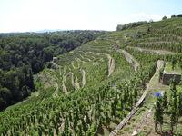 Excursion et dégustation dans les vignobles de Condrieu et Côte-Rôtie