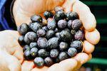 55e édition des Olivades 2019, la Fête de l'Olive noire de Nyons